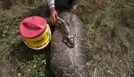 5 metre boyundaki Piton 35 kiloluk geyiği yuttu