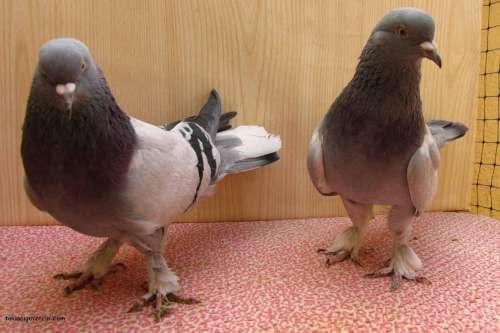 Güvercin Fotoları, Resimleri