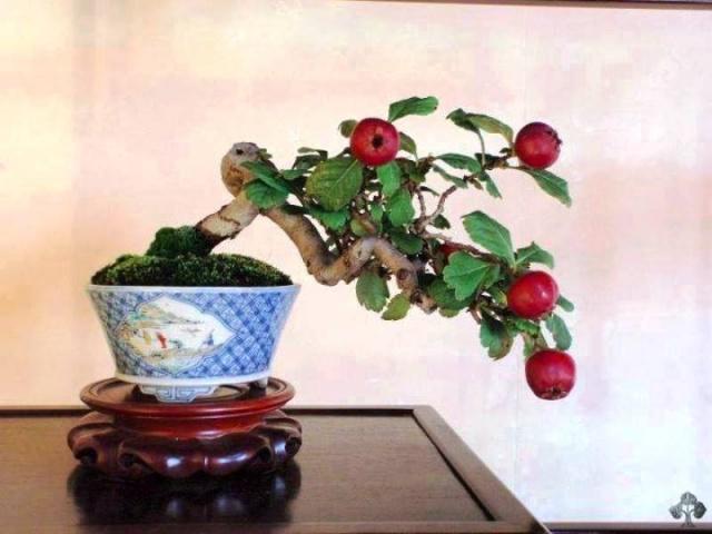 Minyatür, Bodur Meyve Ağaçları