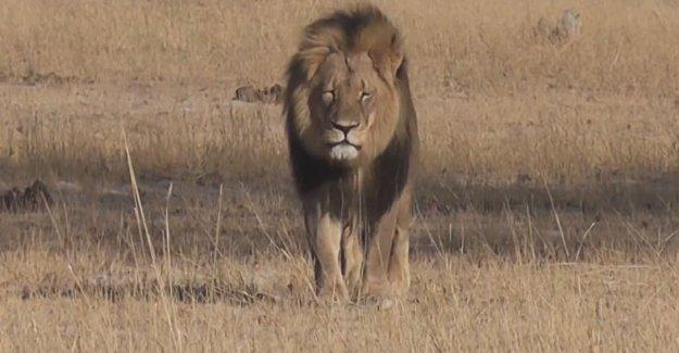 Afrika'nın en ünlü aslanını Cecil öldürüldü.