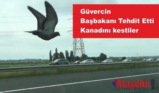 Güvercin Başbakanı Tehtit Etti, Kanadını Kestiler