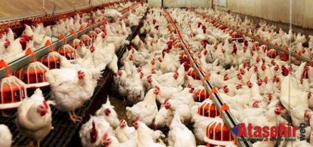 """Türkiye'de """"etçi damızlık tavuk"""" ilk kez geliştirildi"""