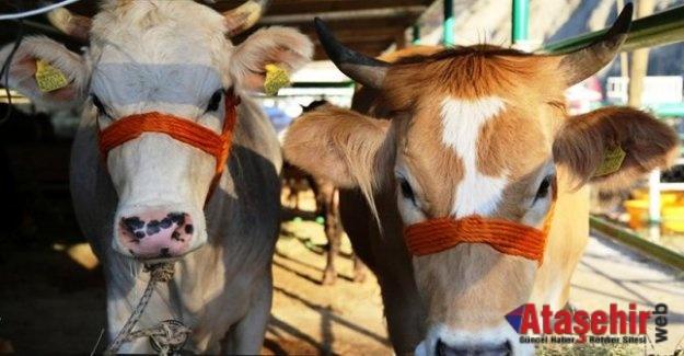 Satılmayan Kurbanlıkları Et ve Süt Kurumu Alacak