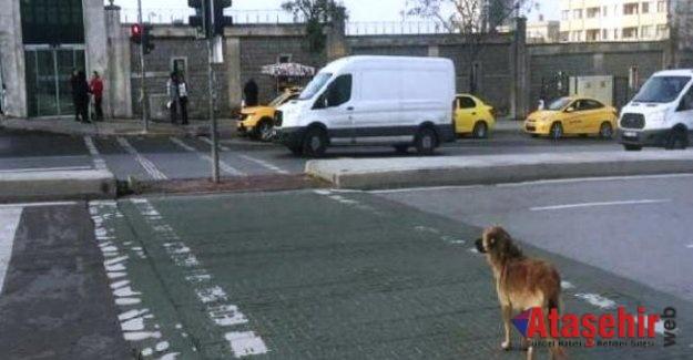 Yaya Geçidinden Geçmeyi, Köpek Öğrendi İnsan Öğrenemedi!
