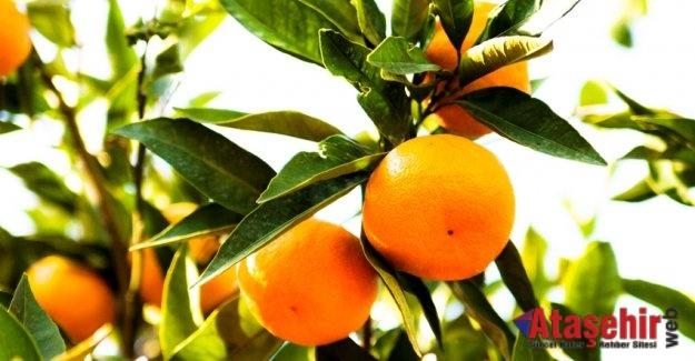 Satsuma mandalinanın ihracat yolculuğu 18 Ekim'de başlıyor