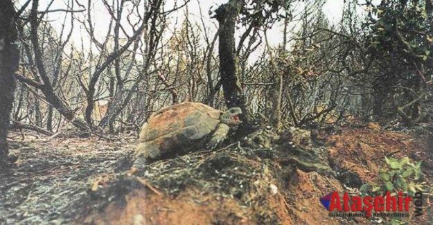 Orman yangınlarından hayvanlar da büyük zarar görüyor