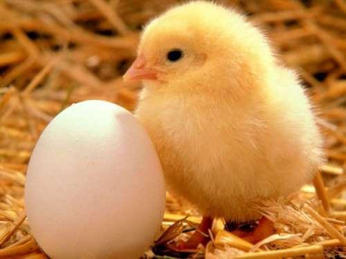 Tavuk mu? yumurtadan yumurta mı? tavuktan çıkar
