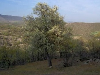 Ahlat Ağacından  armut meyvesi