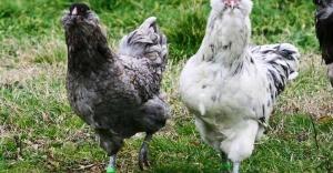 Amasya'da üretilen bu yumurtanın tanesi 50 lira