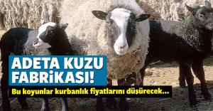 Bu koyunlar Yetiştireni zengin ediyor
