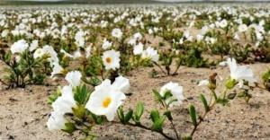 Şili'deki Atacama Çölü çiçek tarlasına nasıl dönüştü?