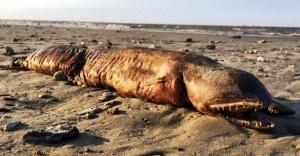 ABD'de kasırga sonrası gizemli yaratığı kıyıya vurdu