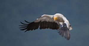 Yüz Binden Fazla Yırtıcı Kuş Adana'dan Geçti!