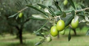 Zeytin ağaçlan nasıl ortaya çıkıyor?