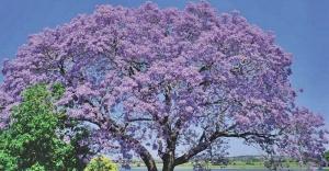 Dünyayı kurtarabilecek ağaç: Kiri