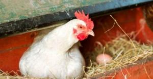 Bu Tavuklar kanser ilacı yumurtluyor!