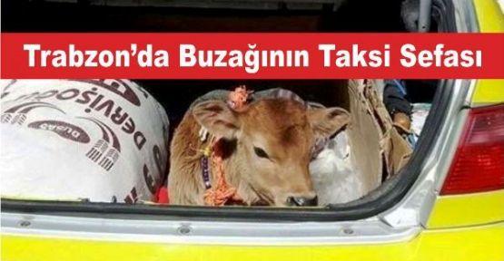 Trabzon'da Buzağının Taksi Sefası
