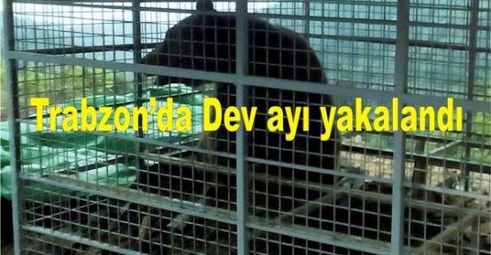 Trabzon'da Dev ayı yakalandı