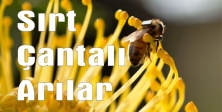 Sırt Çantalı Arılar
