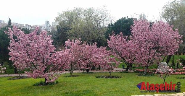İstanbulluların ''sakura'' ilgisi