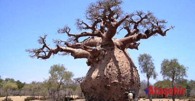 TOBOROÇİ AĞACI (TOBOROCHI TREE)