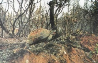 Orman yangınlarından hayvanlar da büyük zarar...