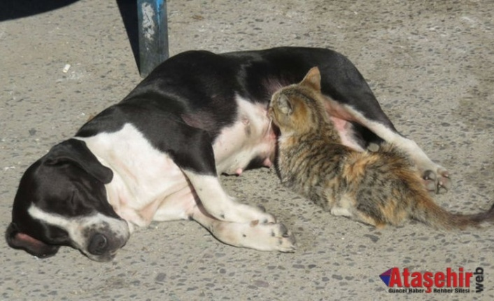 Anneleri ölen kedileri 'Fındık' adlı köpek emziriyor